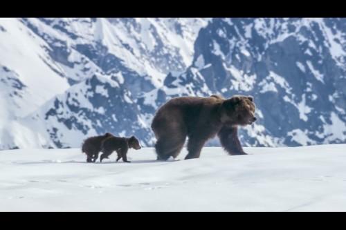Mama bear and bear cub in Disneynature Bears releasing Earth Day 2014