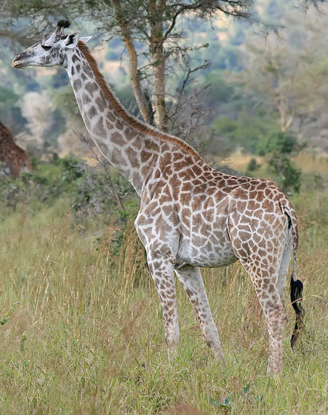 Photo of giraffe in the wild: A Masai giraffe in Mikumi National Park, Tanzania