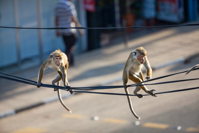 "The toque macaques have a harrowing adventure in the city in DisneyNature's ""Monkey KIngdom."" Photo: Disneynature"