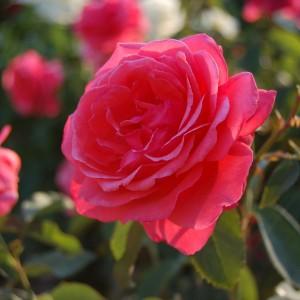 Roses-300x300.jpg