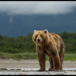 Grizzly bear in Disneynature Bears releasing Earth Day 2014