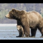 Mama bear and bear cub in Disneynature Bears releasing Earth Day 2014