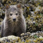 Bear cub in Disneynature Bears
